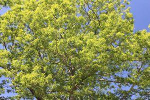 white oak crown