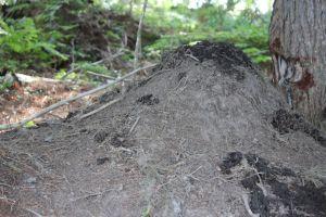 beaver mound