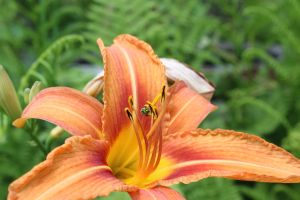 day lily taking advantage