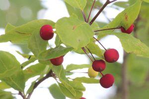serviceberry