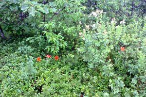 wood lilies