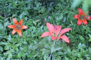 wood lily--burst of light