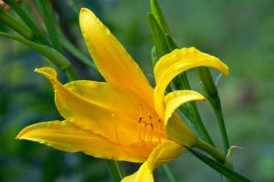 yellow lily 2