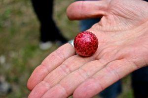 acorn plum gall