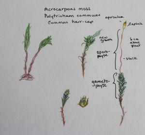 Acro moss