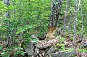 beaver tree