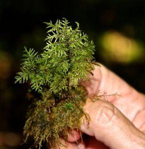mystery fern moss 3