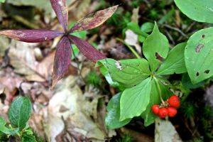 red bunchberry, starflower leaves