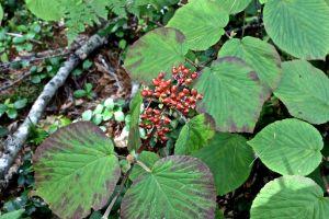 red hobblebush