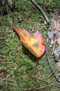 red maple leaf on ground