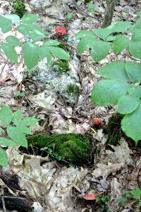red-mushrooms emerging