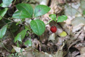 red wintergreen berry
