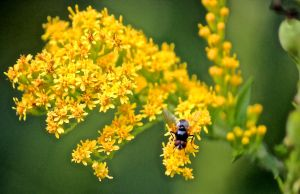 beefly on goldenrod