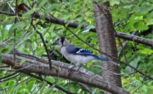bluejay and cat.