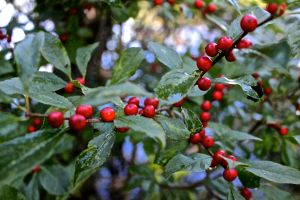 common winterberry