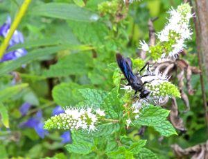 large blue wasp
