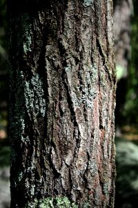 northern red oak bark