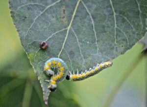 sawfly caterpillars ?