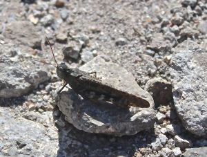 summit grasshopper