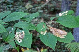 use and abuse--I'm an OK leaf