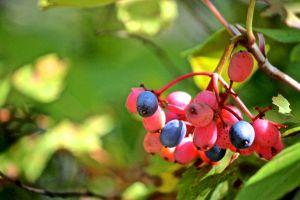 wild raisins