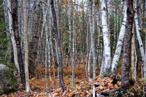 4 birches