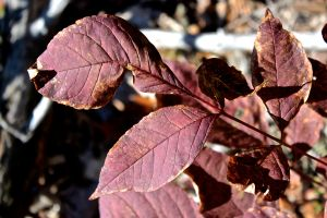 ash leaf