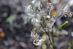 aster seeds 2