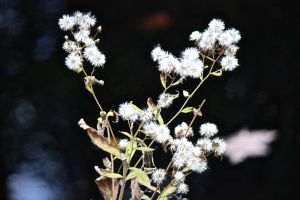 asters gone to seed
