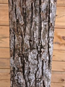 BEam 13, white oak, light gray, can appear whitish with a reddish cast, furrows form flattened ridges, broken into somewhat rectangular-shaped blocks, furrows steep and narrow, with sides of blocks often parallel, old bark+irregular in shape, might look like shingles