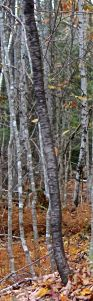 beam 15 e, black birch