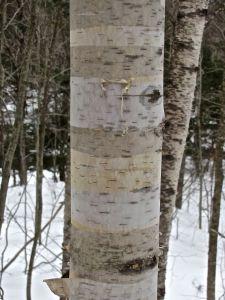 beam 16 e, paper birch