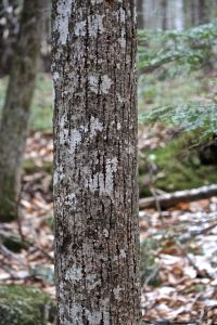 Basswood bark