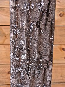 Beam 5, red oak, rough, dark brown to blackish furrows, sepaprate smooth, light-colored, often lustrous ridges flush with circumference of trunk or slightly concave, ridges like ski tracks, loosely intersect