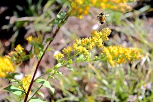 bees on goldenrod, Whiting Hill
