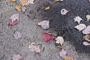 bobcat tracks 1