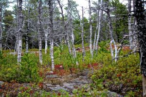 cabot jack pine forest colors
