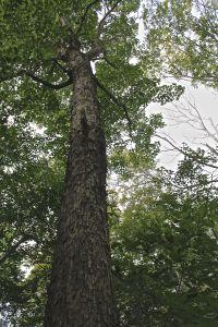 big old sugar maple