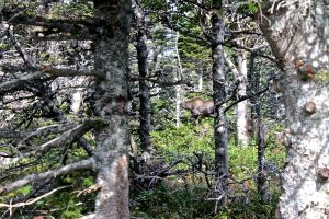 moose on skyline trail