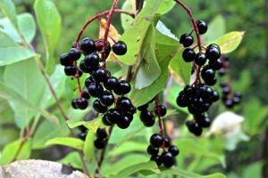 fruit, cherries
