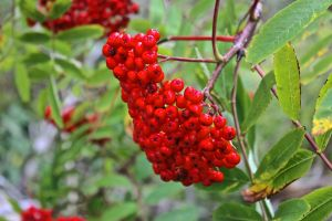 fruits mountain ash