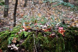 hemlock saplings on stump