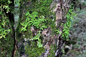 mabou d2 lungwort