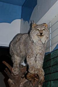 musuems, lynx