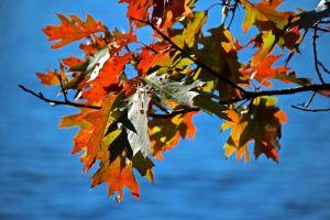 no. red oak 2