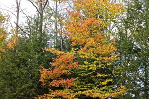 oak & beech in landscape