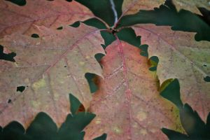oak leaf color 2