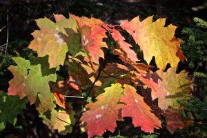 oak leaf color 3