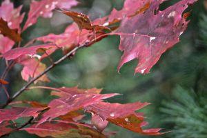 oak leaf color 6