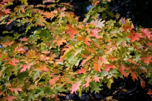 oak leaf color 8